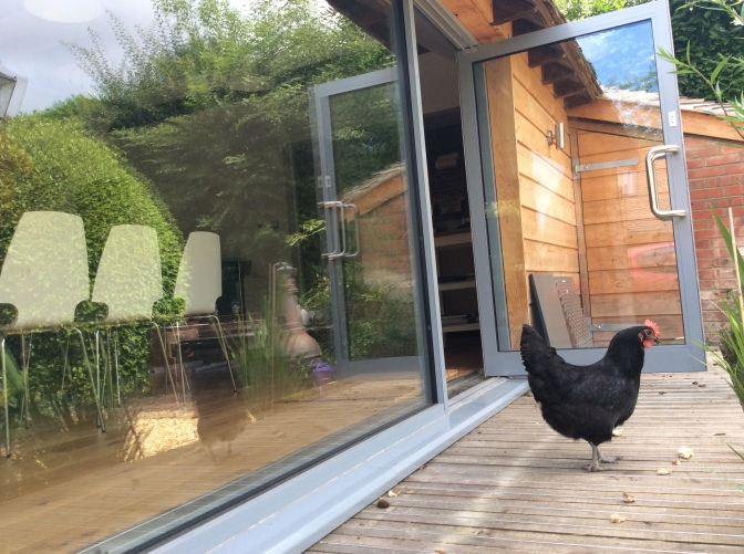 It seems even the chickens can't resist our swanky new studio...